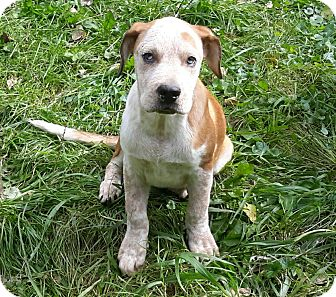 Australian Shepherd/Labrador Retriever Mix Puppy for adoption in Minneapolis, Minnesota - Stevie