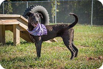 Labrador Retriever Mix Dog for adoption in Madionsville, Kentucky - Gwyneth