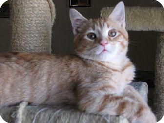 Domestic Shorthair Kitten for adoption in Walnutport, Pennsylvania - Merlin