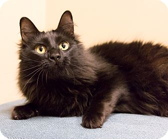 Domestic Longhair Cat for adoption in Chicago, Illinois - Miro