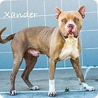 Adopt A Pet :: Xander - Lancaster, TX