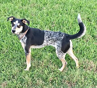 Blue Heeler Mix Dog for adoption in Snyder, Texas - Ashton