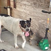 American Staffordshire Terrier Dog for adoption in Jacksonville, Florida - Zorro