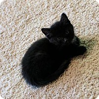 Domestic Mediumhair Kitten for adoption in Mission, Kansas - Chrissy Tiegen