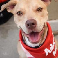 Adopt A Pet :: Mercy - DFW, TX