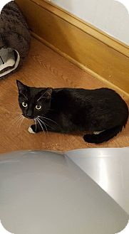 Domestic Shorthair Cat for adoption in Baltimore, Maryland - Jessamine