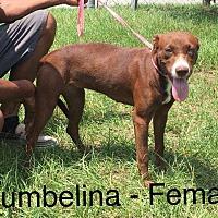 Adopt A Pet :: Thumbelina - Waycross, GA