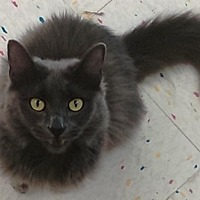 Adopt A Pet :: Olivia -- $75 - LONG-HAIRED RUSSIAN BLUE - Hillside, IL
