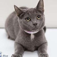 Adopt A Pet :: Blue - Merrifield, VA