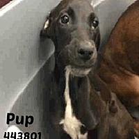 Adopt A Pet :: 443801 Pup - San Antonio, TX