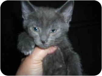 Domestic Longhair Kitten for adoption in Riverside, Rhode Island - Pewter