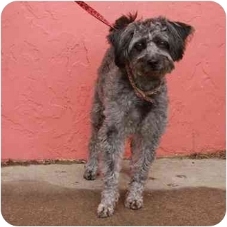 Poodle (Miniature)/Terrier (Unknown Type, Small) Mix Dog for adoption in Denver, Colorado - Franny