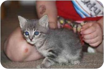 Domestic Shorthair Kitten for adoption in White Settlement, Texas - Lily