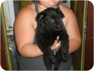 Schipperke/Terrier (Unknown Type, Medium) Mix Dog for adoption in Edon, Ohio - Lillie..ADOPTED