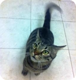 Domestic Shorthair Cat for adoption in Columbus, Georgia - Mr Bailey 5062