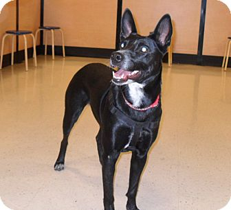 Australian Cattle Dog/Shepherd (Unknown Type) Mix Dog for adoption in Phoenix, Arizona - Nina