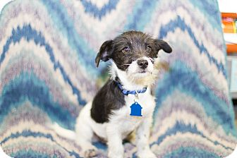 Japanese Chin/Terrier (Unknown Type, Small) Mix Puppy for adoption in Culver City, California - Baby Sara