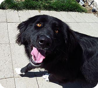 Australian Shepherd Mix Dog for adoption in Meridian, Idaho - Dory