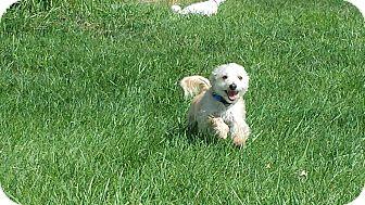 Maltese/Yorkie, Yorkshire Terrier Mix Dog for adoption in Mount Gretna, Pennsylvania - Sammie