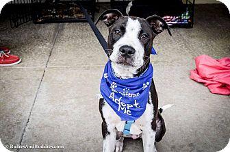 Pointer/Pit Bull Terrier Mix Puppy for adoption in Redondo Beach, California - Stevie