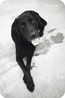 Labrador Retriever Mix Dog for adoption in Seattle, Washington - Hank