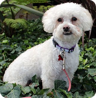 Bichon Frise/Poodle (Miniature) Mix Dog for adoption in Encino, California - Henry
