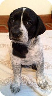 Labrador Retriever/Catahoula Leopard Dog Mix Puppy for adoption in Naperville, Illinois - Baxter