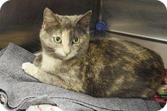 Domestic Shorthair Cat for adoption in Elyria, Ohio - Possum