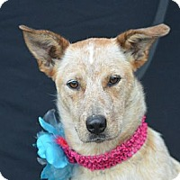 Adopt A Pet :: Paige - Plano, TX
