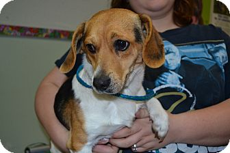 Beagle/Jack Russell Terrier Mix Dog for adoption in Freeport, Maine - Wiley