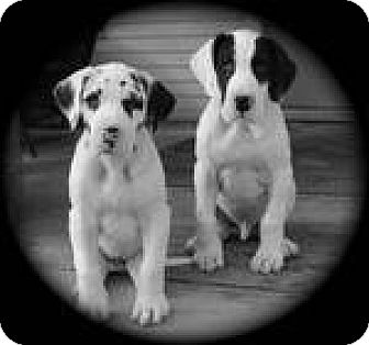 Great Dane Puppy for adoption in Beachwood, Ohio - Ketel