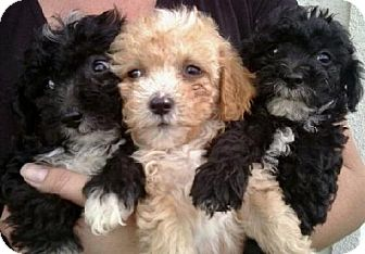 Poodle (Miniature) Puppy for adoption in Long Beach, California - 3 Stoogies