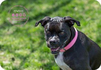 Boxer Mix Dog for adoption in Janesville, Wisconsin - Mylee
