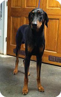 Doberman Pinscher Dog for adoption in Winder, Georgia - Eddie