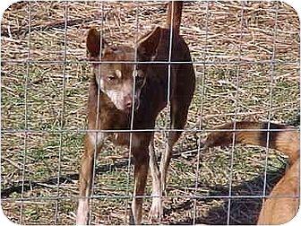 Miniature Pinscher/Chihuahua Mix Dog for adoption in South Burlington, Vermont - Quixote