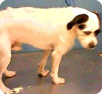 Jack Russell Terrier/Parson Russell Terrier Mix Dog for adoption in Boulder, Colorado - Skippy-ADOPTION PENDING