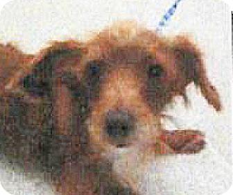 Terrier (Unknown Type, Small) Mix Dog for adoption in Spokane, Washington - Heidi