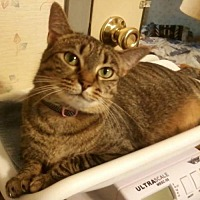 Domestic Mediumhair Cat for adoption in Rustburg, Virginia - Tabitha: fostered