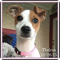 Adopt A Pet :: Thelma In Dallas - Dallas/Ft. Worth, TX