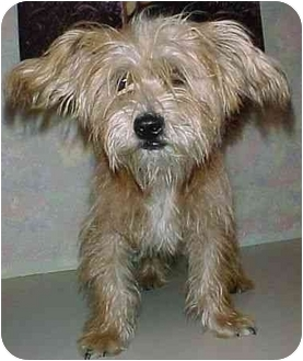 Terrier (Unknown Type, Small)/Skye Terrier Mix Dog for adoption in North Judson, Indiana - Marty
