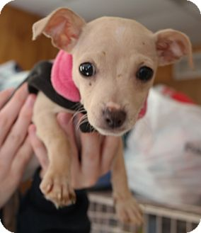 Chihuahua Mix Puppy for adoption in San Pablo, California - BIANCA