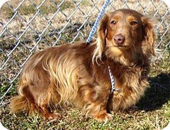 Dachshund Dog for adoption in Oswego, Illinois - I'M ADPTD Butterscotch Coates