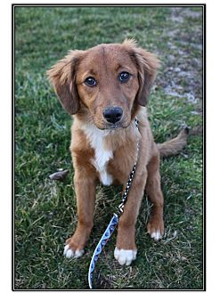 Golden Retriever Mix Puppy for adoption in LaGrange, Kentucky - VERSACE