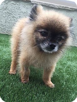Pomeranian Dog for adoption in Fountain Valley, California - Gizmo