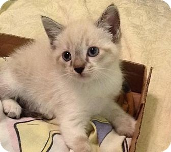 Siamese Kitten for adoption in San Antonio, Texas - Alfie