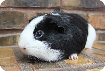 Guinea Pig for adoption in Benbrook, Texas - Comet