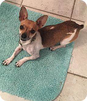 Chihuahua Mix Dog for adoption in Las Vegas, Nevada - Pedals