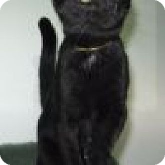 Domestic Shorthair Cat for adoption in Powell, Ohio - Rowdy