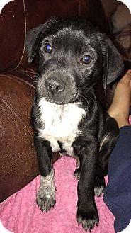 Labrador Retriever Mix Puppy for adoption in Yukon, Oklahoma - Bo