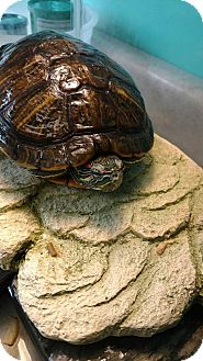 Turtle - Water for adoption in Brookings, South Dakota - Sammy